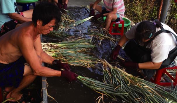 農業代工-清洗三星蔥